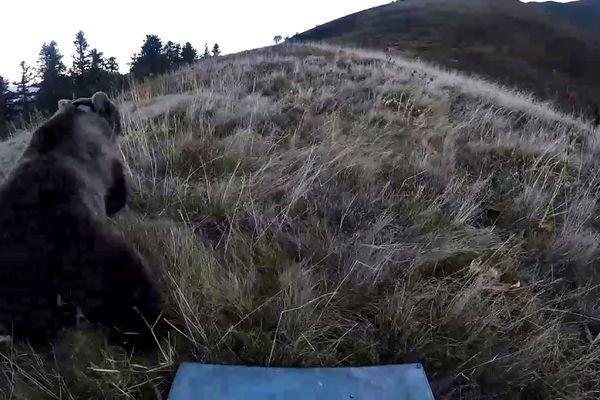 Lâcher d'une ourse en octobre 2018 dans les Pyrénées