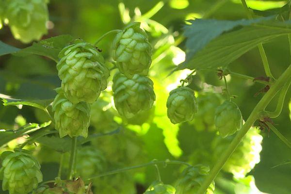C'est à l'intérieur des cônes, que se trouve la lupuline, cette poudre jaune qui transmet les arômes et l'amertume à la bière.