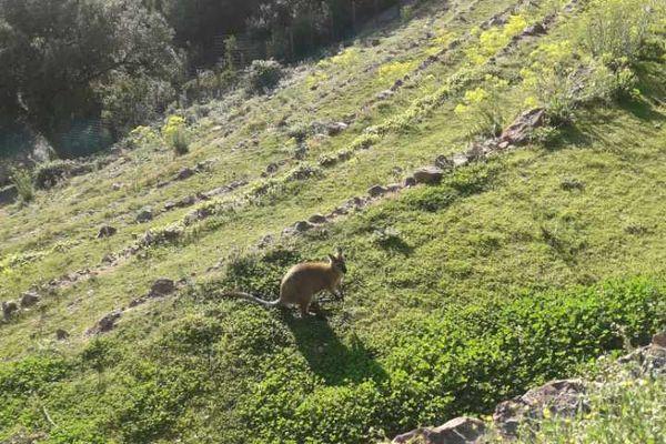 L'un des wallabys dans le parc de la maison forestière des Trois termes.