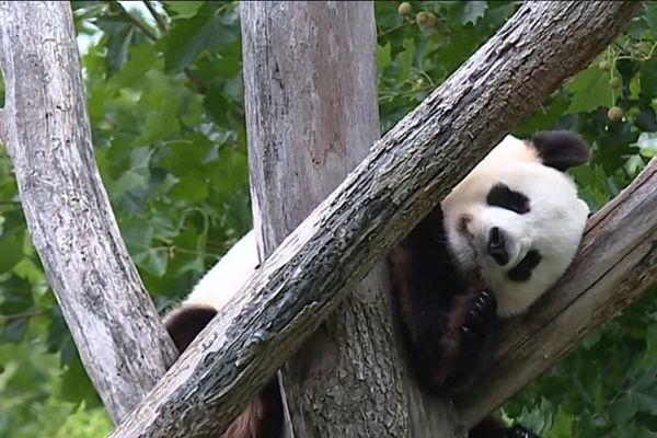 Huan Huan, femelle panda ZooParc de Beauval à St Aignan-sur-Cher dans le Loir-et-Cher