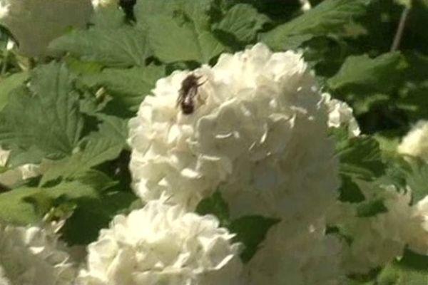 A Forcalquier, les abeilles butinent en toute sécurité