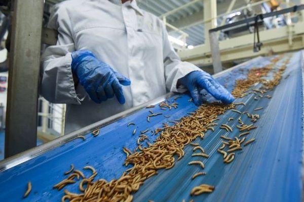 """Les larves de scarabée molitor, appelées """"tenebrions meuniers"""" car friandes de farines de céréales, sont élevées puis transformées en engrais et en nourriture pour animaux depuis 2016 dans la """"fermilière"""" de Dole (Jura)."""