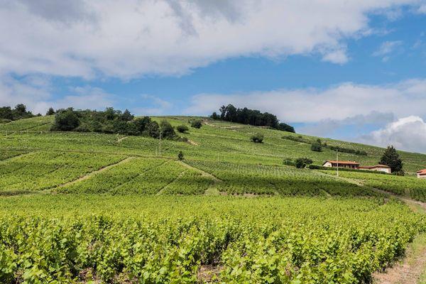 Dans le Beaujolais, une bonne centaine de vignerons ont d'ores et déjà déposé un dossier auprès de FranceAgriMer, l'organisme semi-public qui met en œuvre cette distillation exceptionnelle