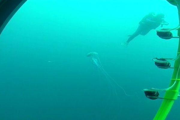 Les scientifiques de l'Observatoire Océanologique vont tenter de prédire la présence de méduse Pelagia noctiluca sur nos plages.