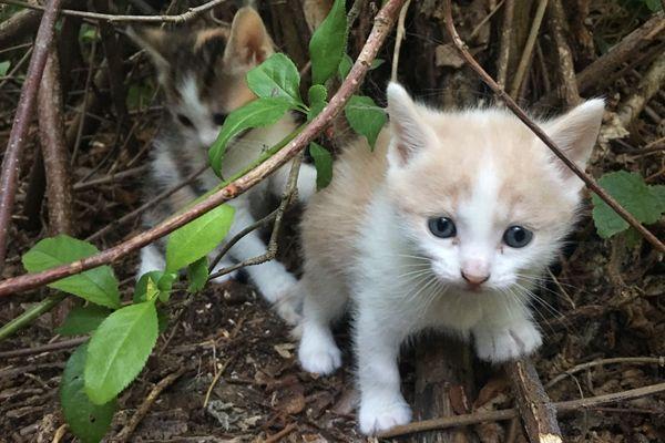 Chaque année, des milliers de chatons naissent ou sont abandonnés dans la nature en France. La plupart d'entre eux contractent des maladies comme le coryza ou la gale d'oreille qui provoquent des lésions irréparables voire la mort de l'animal.