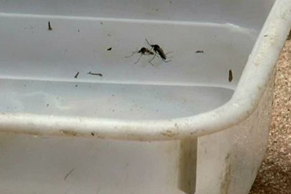 Larves de moustique tigre dans un jardin de Montpellier octobre 2014