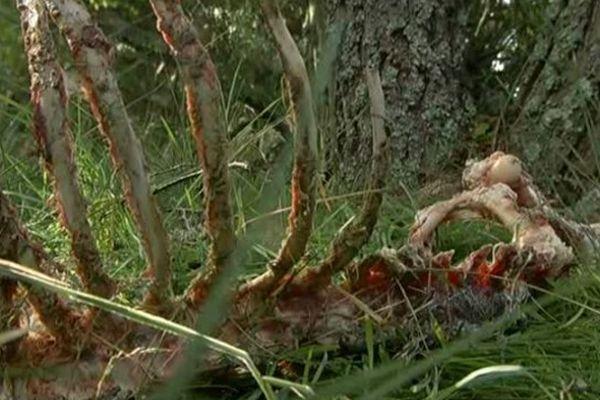Le 11 septembre 2014, en Lozère, une brebis a été tuée et 3 autres blessées lors d'une attaque de loup