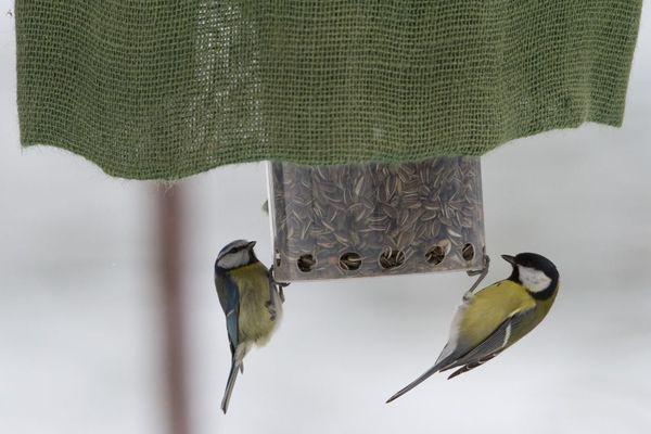 """La mésange bleue et la mésange charbonnière sont les oiseaux à observer en janvier dans le cadre des enquêtes participatives """"Un mois, une espèce"""" de Picardie nature."""