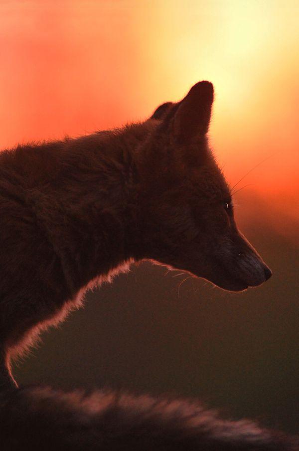 La rousse renarde au soleil couchant.