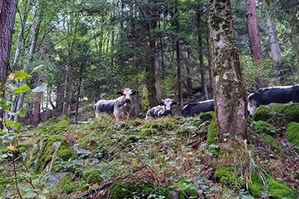 Les vaches descendent la vallée de la Wormsa, en Alsace.