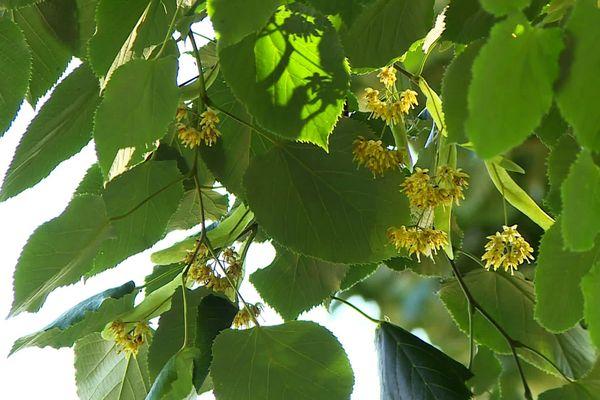 Les fleurs, mais aussi le bois, les bourgeons et les fruits du tilleul ont des qualités en phytothérapie et même en cuisine