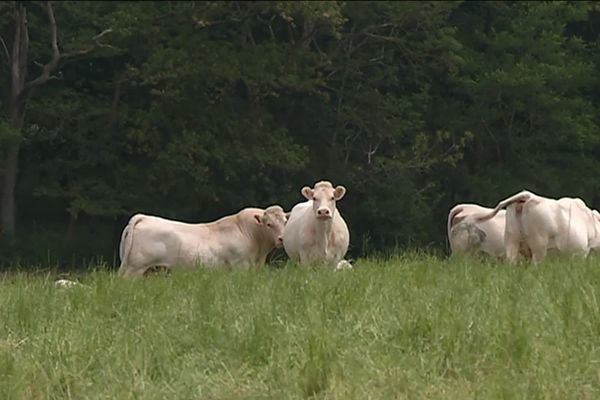 Les vaches de Saint-Père-en-Retz paissent tranquillement en attendant le Surf park