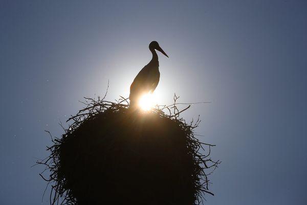 La cigogne est une espèce protégée.