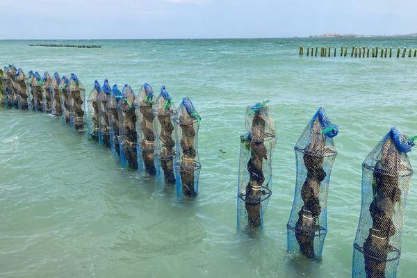 Les pieux de l'exploitation de moules de Guillaume Bouchonneau avec les écarteurs qu'il a développés