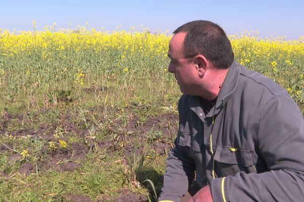 Un producteur de colza devant une parcelle ravagée par des sangliers