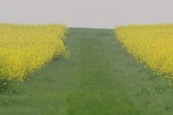 En Bourgogne, le colza est la troisième grande culture derrière le blé tendre et les orges.
