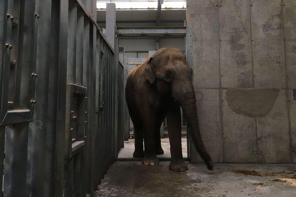 Upali, un éléphant d'Asie de 24 ans, arrive du zoo de Dublin en Irlande.