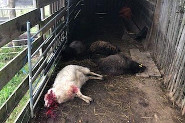 La presque totalité du troupeau a été tuée ou blessée.