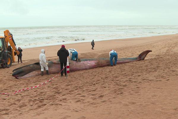 Un jeune rorqual s'est échoué sur une plage des Sables d'Olonne, le 5 octobre 2020