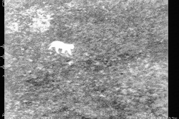 Image infrarouge de l'animal captée par les forces de l'ordre la nuit dernière.