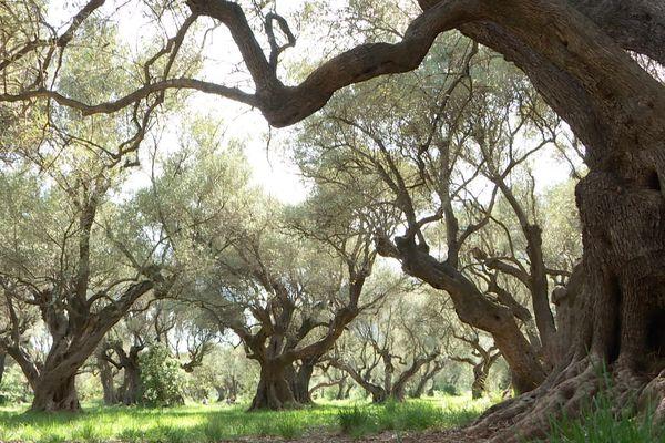 L'oliveraie des Laures à la Farlède dans le Var.