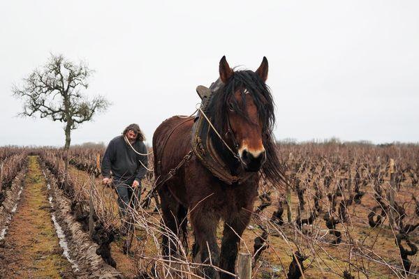 A Sassay (Loir-et-Cher), les vignerons font appel aux chevaux pour retourner la terre.