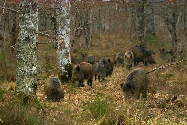 Les hardes de sangliers fouillent le sol des forêts pour y trouver leur subsistance et menacent la régénération forestière.