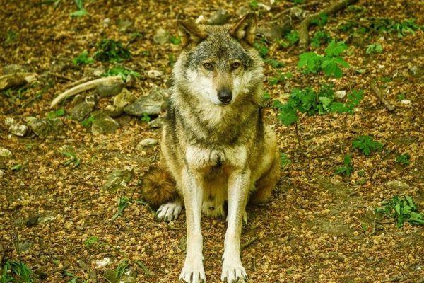 Le parc aux loups se découvre par un sentier de randonnée. I y a 40 loups dans ce parc animalier.