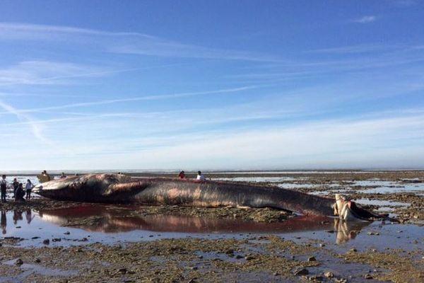 La baleine échouée est très maigre selon les spécialistes.