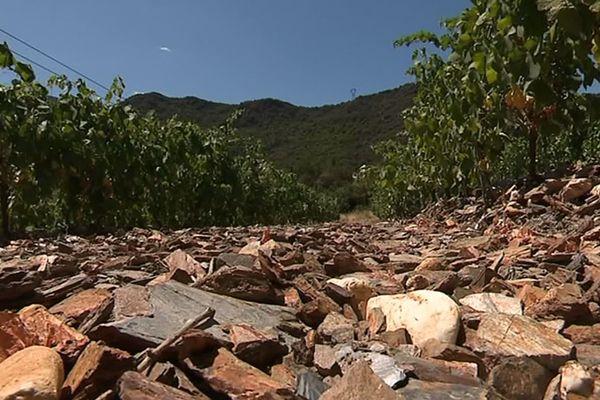 Vieussan (Hérault) - les sols des vignobles sont arides - juillet 2019.
