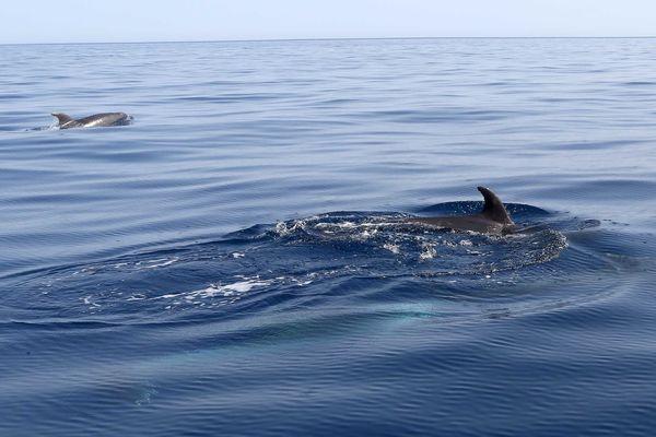 Des dauphins dans la réserve marine de Cerbère-Banyuls (sept-2019).