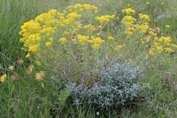 Certaines plantes comme l'Alyssum muralé, peuvent capter les métaux lourds toxiques dans les sols, sans mourir.