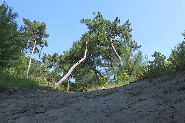 La forêt du Touquet et ses pins centenaires.