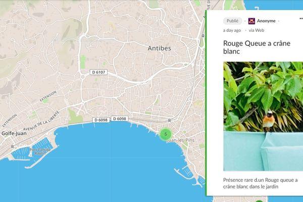 Un rouge-queue observé dans un jardin de Juan-les-Pins, à la faveur du confinement.
