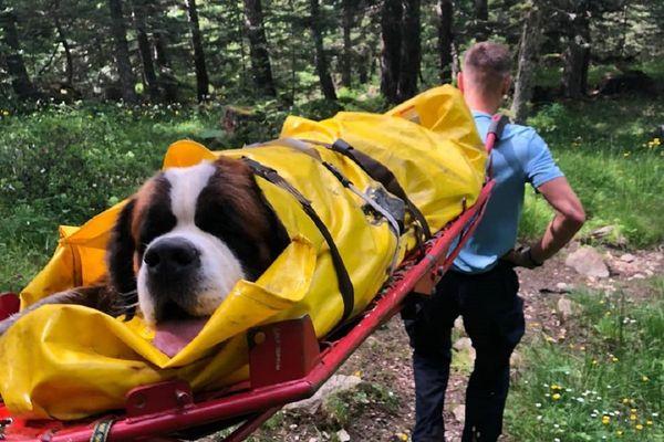 Ariège - O'neill, un Saint-Bernard de 75 kg a été évacué et transporté chez son vétérinaire quelques heures après sa chute. 11 juillet 2021.