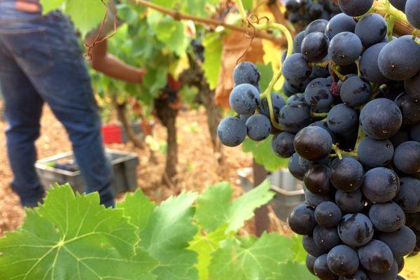 Dans l'Aude, des vignerons bios vendangent des vignes où ils ont acheté le raisin pour produire du vin malgré le gel qui a ruiné leur production - 30 août 2017