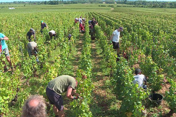 Les vendangeurs doivent faire dans des vignes où beaucoup de raisins sont abimés.