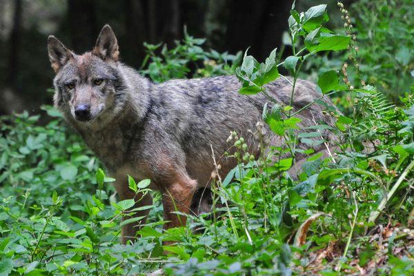 """Un des loups du parc animalier """"Rêve de bisons"""" de Muchedent (Seine-Maritime)"""