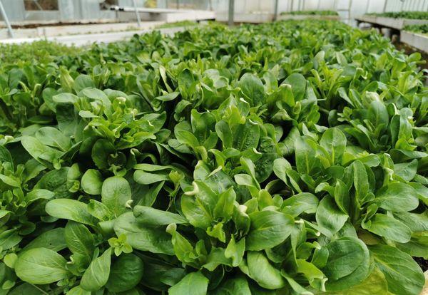 La salade (ici de la mâche), fait partie des légumes les plus fragiles en hiver.
