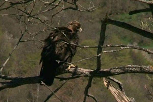 L'aigle royal a été relâché