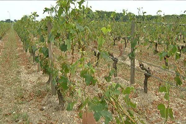 Dans ce vignoble, 70% de la récolte a été détruite. Les 50 saisonniers ont été remerciés.