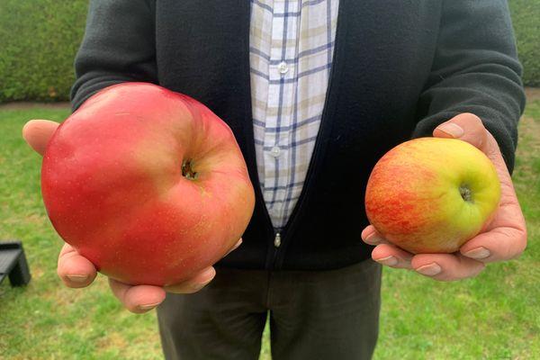 Daniel Cotrel a cueilli ce 5 octobre une pomme qui pourrait bien être la plus lourde du monde.