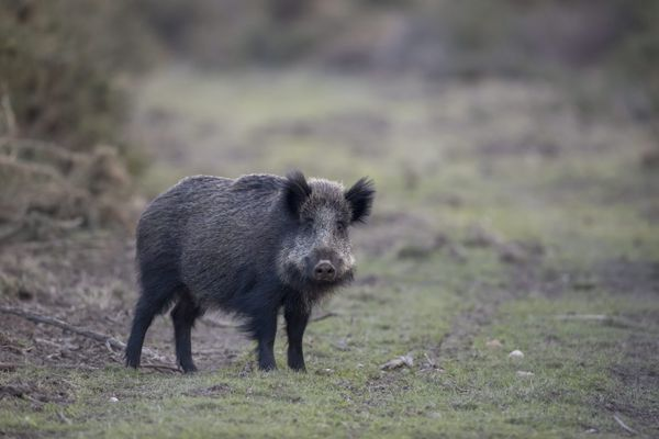 Le sanglier, espèce de mammifères omnivores, cause de nombreux dégâts dans les champs, en particulier dans le Gard.