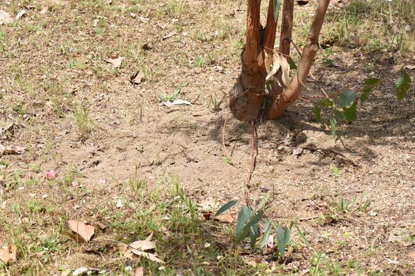 Le pied d'un arbre attaqué par un nid de Tapinoma magnum.