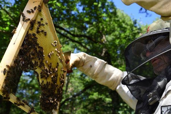 Les apiculteurs français subissent des pertes moyennes de 30% de leurs cheptels en hiver.