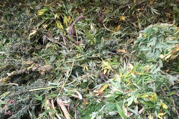 Le cannabis saisi à Villiers-sur-Chizé - octobre 2017