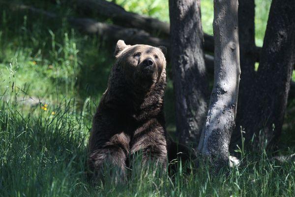 les tensions subsistent autour de l'ours des Pyrénées