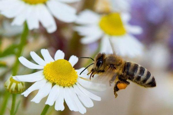 Les pesticides sont aussi responsables de mortalité des abeilles (illustration)