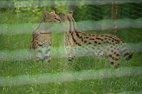 L'enquête devra notamment déterminer si le serval, qui portait un collier, avait un propriétaire.