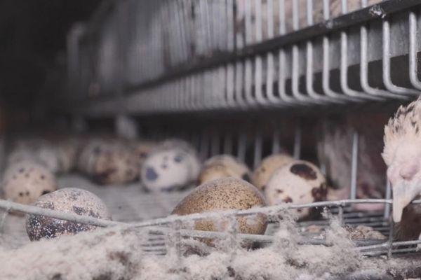 Tandis que les mâles sont gardés pour la production, les femelles passent toute leur vie dans ces cages, gardées pour leur oeufs.
